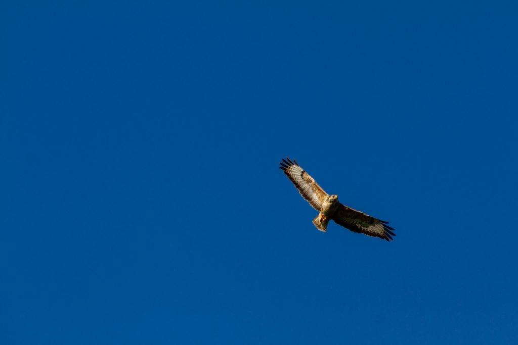faucon en vol