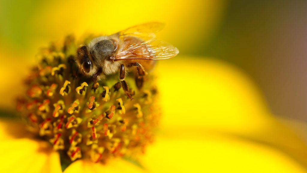 abeille fleur jaune