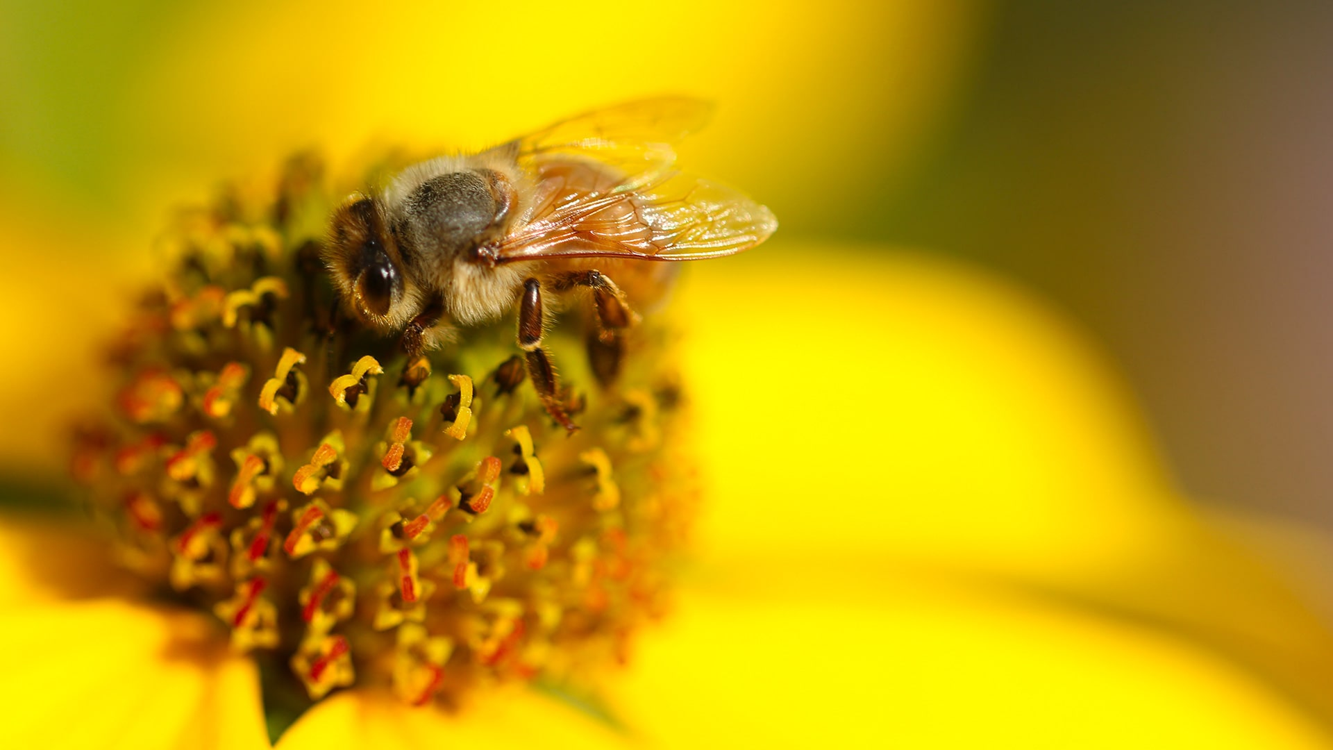 abeille sur fleur jaune