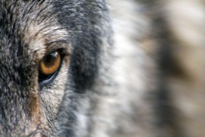 loup biodiversite BFC